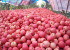 今年紅富士蘋果價格最新紅富士蘋果價格陜西紅富士蘋果價格