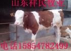 山东200斤西门塔尔牛犊价格多少