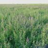 优质饲料苜蓿草粉草颗粒
