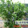 优质的蓝莓苗