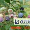 成活率高的蓝莓苗