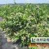 高产量的蓝莓苗