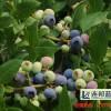 山东蓝莓苗供应