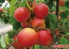 丰园红甜核杏