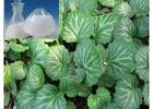 供应岩白菜素