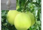 优质酸柚提取分离 健胃消食 化痰止咳 原料药 柚皮甙