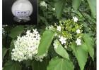 泡桐叶提取活性物质 熊果酸抗菌消炎 抗肿瘤找浩翔生物