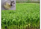 旱芹菜提取活性物质 单体芹黄素 抗菌 镇痛 安神降压