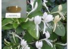 杜仲 金银花提取活性物质绿原酸 消炎解毒 清热就找浩翔