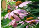 紫锥菊提取活性物质紫锥菊多酚 菊苣酸就寻浩翔生物