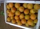 大棚金太阳杏价格,早熟杏子产地批发