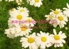 供应除虫菊-天然杀虫植物