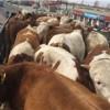 好品种的肉牛犊在张北县