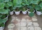 白洋淀玖水莲荷花盆栽