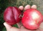 陕西早熟油桃 中油12号油桃价格