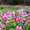 供应紫云英种子 绿肥 天然饲料 优质牧草 营养丰富