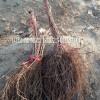 营养钵贝达苗 贝达葡萄苗出售 山葡萄苗