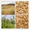 莜麦种子  裸燕麦  油麦   莜麦