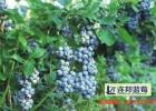 高产量的山东蓝莓苗