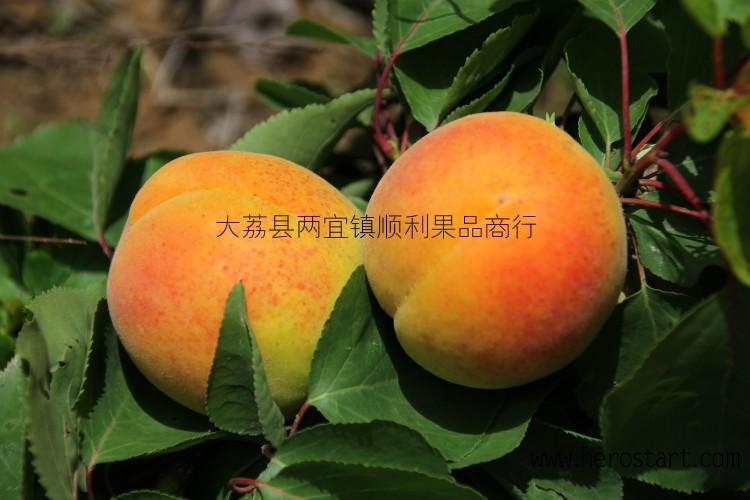 大量供应凯特杏金寿杏